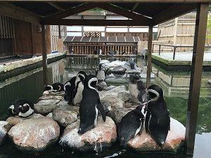 花鳥園のペンギン