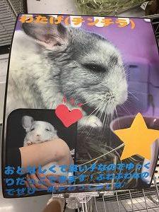 チンチラ「わたげちゃん」の説明カード