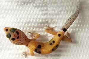 ヒョウモントカゲモドキの幼体