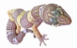 レオパードゲッコーのアルビノ個体のイメージ