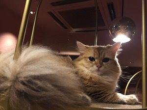 しっぽモフモフな猫
