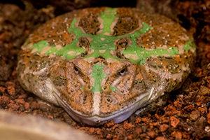 べルツノガエルの成体