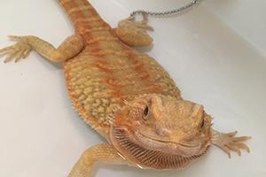 フトアゴヒゲトカゲのイメージ